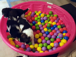 Dogs play in balls